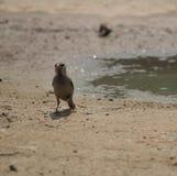 Ένα πουλί βρίσκει το νερό Στοκ φωτογραφία με δικαίωμα ελεύθερης χρήσης