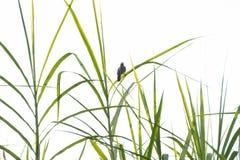 Ένα πουλί που σκαρφαλώνει στον πράσινο κάλαμο φεύγει Στοκ εικόνα με δικαίωμα ελεύθερης χρήσης