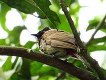 Ένα πουλί Bulbuli από το Μπαγκλαντές στοκ φωτογραφίες