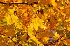 Πυκνό κίτρινο φύλλωμα πτώσης Στοκ φωτογραφία με δικαίωμα ελεύθερης χρήσης