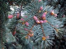 Ένα πράσινο κομμάτι σε έναν κλάδο πεύκων Ζήστε πράσινο παιχνίδι για το νέα έτος ή τα Χριστούγεννα στοκ φωτογραφία με δικαίωμα ελεύθερης χρήσης