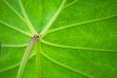 Ένα πράσινο υπόβαθρο εγκαταστάσεων Caladium Στοκ Φωτογραφίες