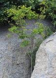 Ένα πράσινο φυτό αυξάνεται από μέσα των βράχων Στοκ φωτογραφία με δικαίωμα ελεύθερης χρήσης