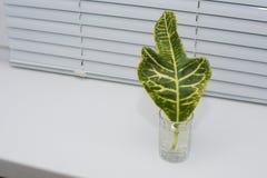 Ένα πράσινο φύλλο ενός φυτού στέκεται στο windowsill σε ένα ποτήρι του νερο στοκ εικόνες με δικαίωμα ελεύθερης χρήσης