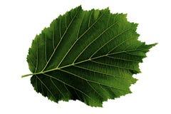 Ένα πράσινο φύλλο της φουντουκιάς που απομονώνεται στο άσπρο υπόβαθρο, κατώτατη πλευρά του φύλλου στοκ φωτογραφίες