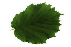 Ένα πράσινο φύλλο της φουντουκιάς που απομονώνεται στο άσπρο υπόβαθρο, τοπ πλευρά του φύλλου στοκ φωτογραφία