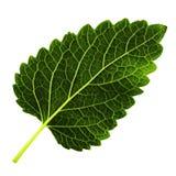 Ένα πράσινο φύλλο του βάλσαμου λεμονιών που απομονώνεται στο άσπρο υπόβαθρο, κατώτατη πλευρά του φύλλου στοκ εικόνες