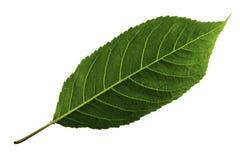 Ένα πράσινο φύλλο του γλυκού κερασιού που απομονώνεται στο άσπρο υπόβαθρο, κατώτατη πλευρά του φύλλου στοκ εικόνα με δικαίωμα ελεύθερης χρήσης