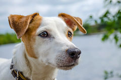 Ένα προσεκτικό σκυλί βλέμματος Στοκ Εικόνες
