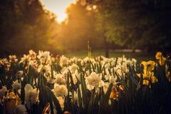 Ένα πρωί της άνοιξη με τα όμορφα κίτρινα λουλούδια Στοκ Φωτογραφία
