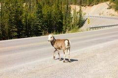 Ένα πρόβατο βουνών που ψάχνει το άλας εκτός από έναν δρόμο στο βόρειο Καναδά Στοκ φωτογραφίες με δικαίωμα ελεύθερης χρήσης