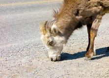 Ένα πρόβατο βουνών που ψάχνει το άλας εκτός από έναν δρόμο στο βόρειο Καναδά Στοκ εικόνες με δικαίωμα ελεύθερης χρήσης