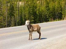 Ένα πρόβατο βουνών που ψάχνει το άλας στη μέση ενός δρόμου στο βόρειο Καναδά Στοκ φωτογραφία με δικαίωμα ελεύθερης χρήσης