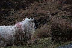Ένα πρόβατο βουνών στο απέραντο Donegal τοπίο βουνών της Ιρλανδίας ` s Στοκ φωτογραφίες με δικαίωμα ελεύθερης χρήσης