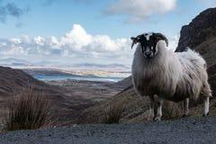 Ένα πρόβατο βουνών στο απέραντο Donegal τοπίο βουνών της Ιρλανδίας ` s Στοκ Εικόνα