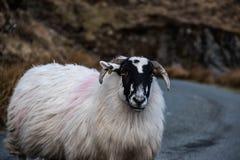 Ένα πρόβατο βουνών στο απέραντο Donegal τοπίο βουνών της Ιρλανδίας ` s Στοκ Φωτογραφίες