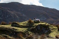Ένα πρόβατο βουνών στο απέραντο Donegal τοπίο βουνών της Ιρλανδίας ` s Στοκ Εικόνες