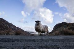 Ένα πρόβατο βουνών στο απέραντο Donegal τοπίο βουνών της Ιρλανδίας ` s Στοκ φωτογραφία με δικαίωμα ελεύθερης χρήσης