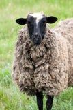 Ένα πρόβατο βόσκει στην πράσινη χλόη Κινηματογράφηση σε πρώτο πλάνο Στοκ Εικόνες