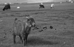 Ένα πρόβατο ελεύθερου χρόνου στο λιβάδι Στοκ Εικόνες