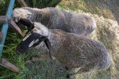 Ένα πρόβατο εξετάζει επιδέξια τη κάμερα στοκ εικόνα