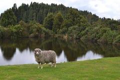 Ένα πρόβατο εξετάζει τη κάμερα Στοκ εικόνες με δικαίωμα ελεύθερης χρήσης