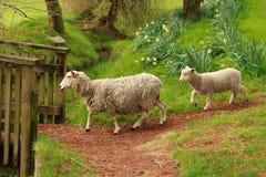 Ένα πρόβατο και ένα αρνί για να διασχίσει περίπου έναν κολπίσκο στοκ εικόνα