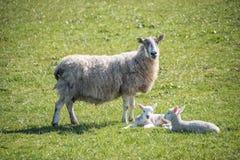 Ένα πρόβατο και τα αρνιά της Στοκ φωτογραφία με δικαίωμα ελεύθερης χρήσης