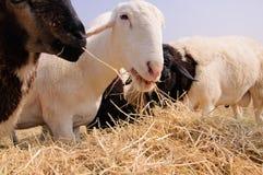 Ένα πρόβατο ομάδας ofLittle στοκ εικόνες