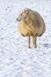 Ένα πρόβατο που στέκεται στο λιβάδι που καλύπτεται με το χιόνι Στοκ Φωτογραφίες