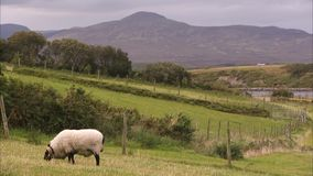 Ένα πρόβατο που τρώει τη χλόη απόθεμα βίντεο