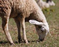 Ένα πρόβατο που τρώει τη χλόη Στοκ εικόνες με δικαίωμα ελεύθερης χρήσης