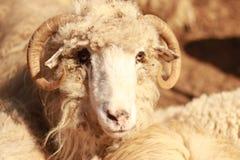 Ένα πρόβατο που ψάχνει τα τρόφιμα στοκ εικόνες