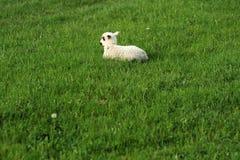 Ένα πρόβατο στη χλόη Στοκ Εικόνα