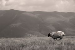 Ένα πρόβατο στους τομείς, πλήρες πορτρέτο Στοκ Εικόνες