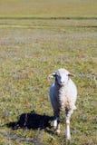 Ένα πρόβατο στο λιβάδι Στοκ Εικόνες