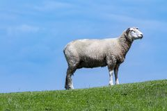 Ένα πρόβατο Στοκ εικόνα με δικαίωμα ελεύθερης χρήσης