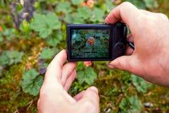 Ένα πρόσωπο φωτογραφίζει cloudberries με μια συμπαγή κάμερα από μια πολύ στενή απόσταση Στοκ Εικόνες
