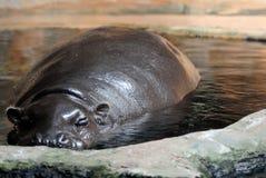 Πυγμαίο Hippo Στοκ φωτογραφία με δικαίωμα ελεύθερης χρήσης
