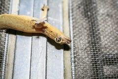 Ένα ραβδί σαυρών σπιτιών σε καθαρό Στοκ φωτογραφίες με δικαίωμα ελεύθερης χρήσης