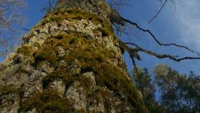 Ένα ρηχό βάθος του τομέα που στρέφεται στο βρύο σε έναν κορμό δέντρων φιλμ μικρού μήκους