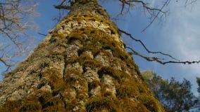 Ένα ρηχό βάθος του τομέα που στρέφεται στο βρύο σε έναν κορμό δέντρων απόθεμα βίντεο