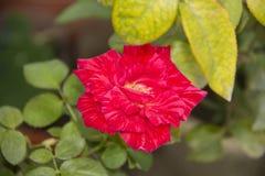 Ένα ροδαλό ρόδινο λουλούδι mawar berduri bunga mawar Στοκ εικόνα με δικαίωμα ελεύθερης χρήσης