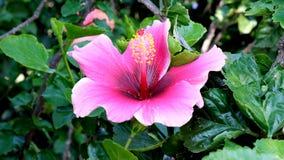 Ένα ροδοειδές ρόδινο λουλούδι ενός hibiscus θάμνου στοκ εικόνες