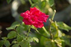 Ένα ροζ λουλούδι Η ομορφιά αυξήθηκε Στοκ Εικόνα