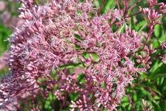 Ένα ρόδινο λουλούδι πολυ-ανθών με τις συστάσεις στοκ εικόνα