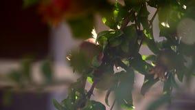 Ένα ρόδι, ένας κλάδος ενός οπωρωφόρου δέντρου απόθεμα βίντεο