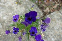 Ένα ρόδινο λουλούδι σε έναν βράχο Στοκ Εικόνα