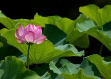 Ένα ρόδινο λουλούδι λωτού Στοκ φωτογραφία με δικαίωμα ελεύθερης χρήσης
