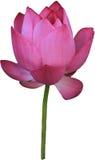Ένα ρόδινο λουλούδι λωτού Στοκ εικόνες με δικαίωμα ελεύθερης χρήσης